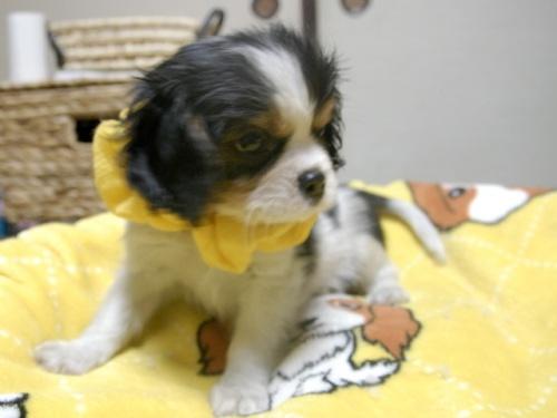 キャバリアの子犬(ID:1255511244)の2枚目の写真/更新日:2017-05-19