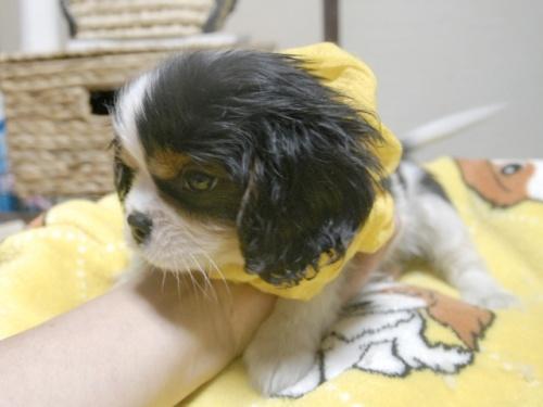 キャバリアの子犬(ID:1255511244)の3枚目の写真/更新日:2017-05-19
