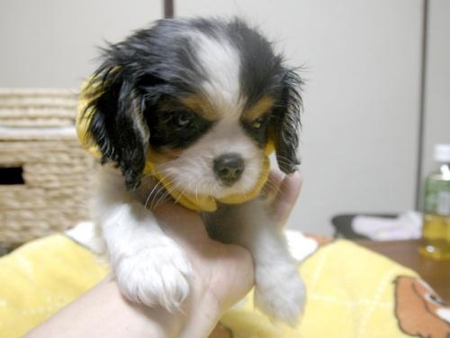 キャバリアの子犬(ID:1255511244)の4枚目の写真/更新日:2017-05-19
