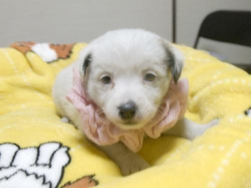 ジャックラッセルテリアの子犬(ID:1255511245)の1枚目の写真/更新日:2017-04-19
