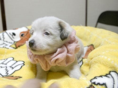 ジャックラッセルテリアの子犬(ID:1255511245)の2枚目の写真/更新日:2017-04-19
