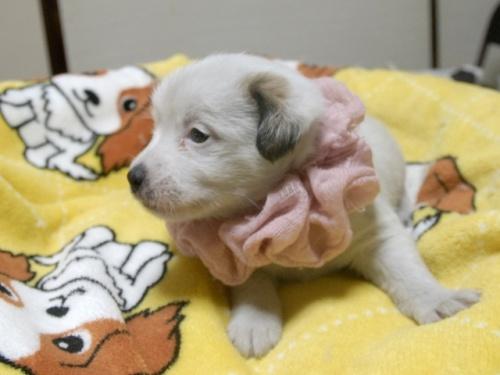 ジャックラッセルテリアの子犬(ID:1255511245)の3枚目の写真/更新日:2017-04-19