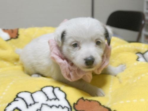 ジャックラッセルテリアの子犬(ID:1255511245)の4枚目の写真/更新日:2017-04-19