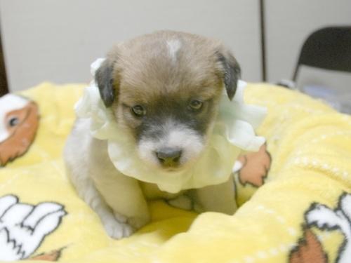 ジャックラッセルテリアの子犬(ID:1255511246)の1枚目の写真/更新日:2017-04-19