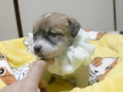 ジャックラッセルテリアの子犬(ID:1255511246)の2枚目の写真/更新日:2017-04-19
