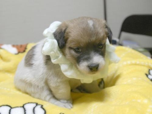 ジャックラッセルテリアの子犬(ID:1255511246)の3枚目の写真/更新日:2017-04-19