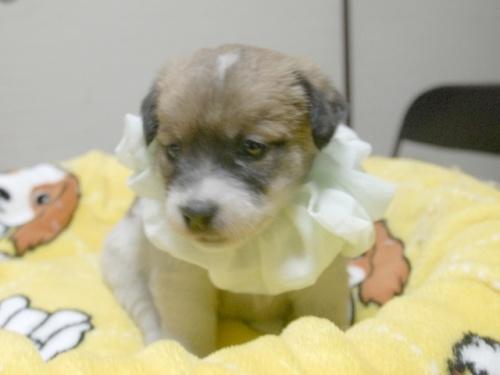ジャックラッセルテリアの子犬(ID:1255511246)の4枚目の写真/更新日:2017-04-19