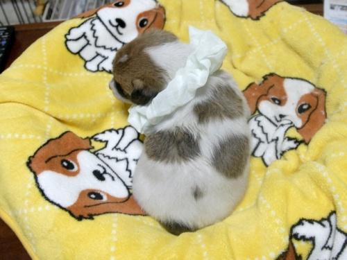 ジャックラッセルテリアの子犬(ID:1255511246)の5枚目の写真/更新日:2017-04-19