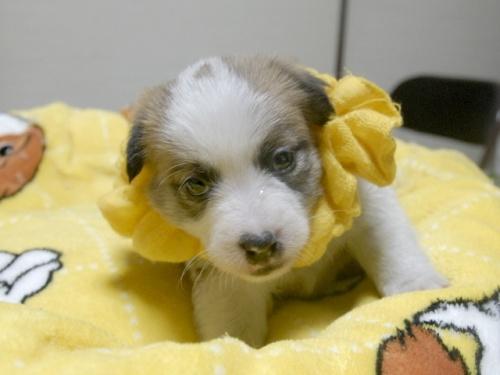 ジャックラッセルテリアの子犬(ID:1255511247)の1枚目の写真/更新日:2017-04-19