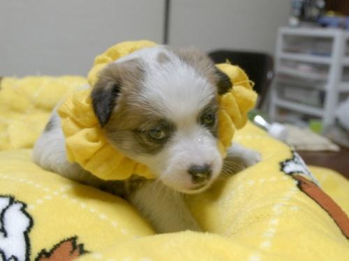 ジャックラッセルテリアの子犬(ID:1255511247)の2枚目の写真/更新日:2017-04-19