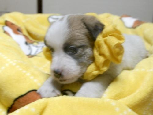 ジャックラッセルテリアの子犬(ID:1255511247)の3枚目の写真/更新日:2017-04-19