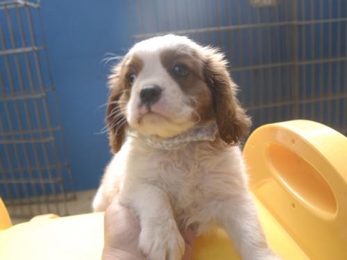 キャバリアの子犬(ID:1255511248)の1枚目の写真/更新日:2017-06-02