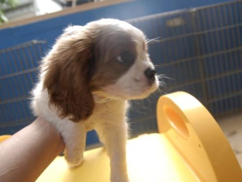 キャバリアの子犬(ID:1255511248)の2枚目の写真/更新日:2017-06-02