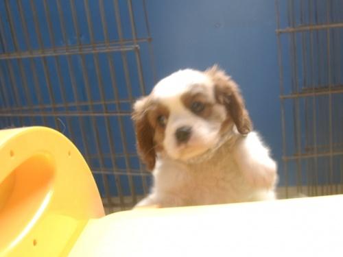 キャバリアの子犬(ID:1255511248)の4枚目の写真/更新日:2017-05-19