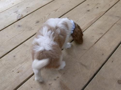 キャバリアの子犬(ID:1255511248)の5枚目の写真/更新日:2017-05-19