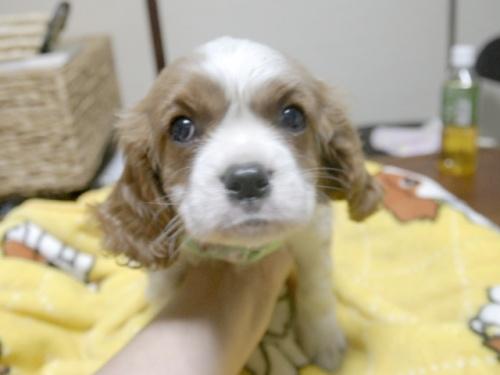 キャバリアの子犬(ID:1255511249)の1枚目の写真/更新日:2017-05-19