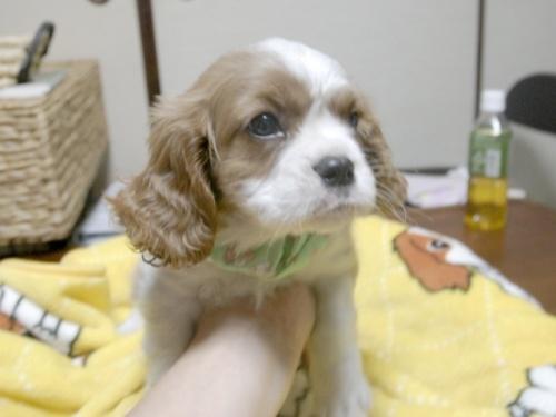 キャバリアの子犬(ID:1255511249)の2枚目の写真/更新日:2017-05-19
