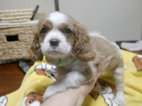 キャバリアの子犬(ID:1255511249)の3枚目の写真/更新日:2017-05-19