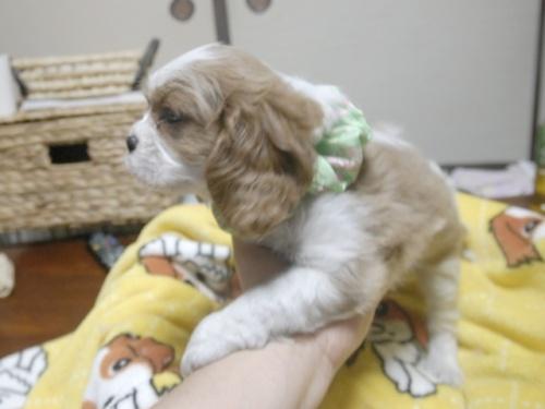 キャバリアの子犬(ID:1255511249)の4枚目の写真/更新日:2017-05-19