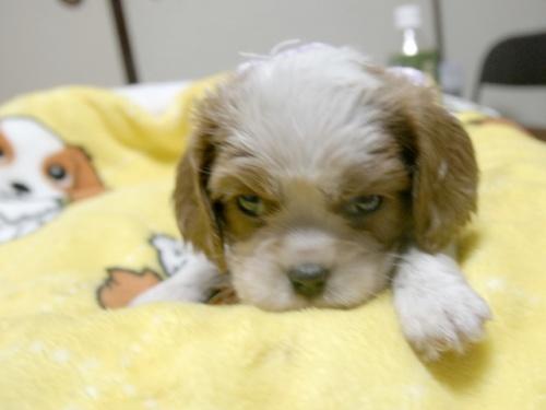 キャバリアの子犬(ID:1255511250)の1枚目の写真/更新日:2017-06-02