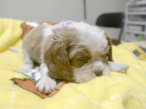 キャバリアの子犬(ID:1255511250)の2枚目の写真/更新日:2017-06-02