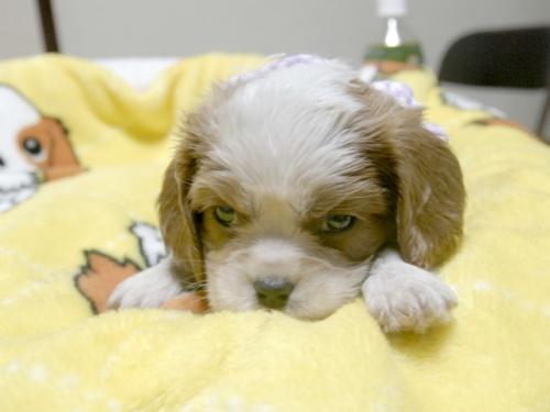 キャバリアの子犬(ID:1255511250)の4枚目の写真/更新日:2017-06-02