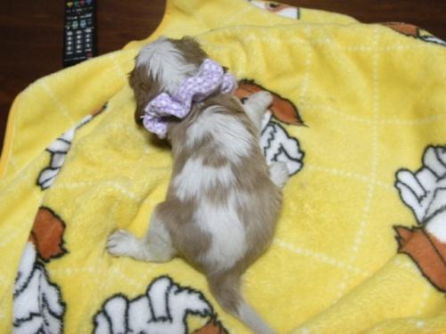 キャバリアの子犬(ID:1255511250)の5枚目の写真/更新日:2017-06-02