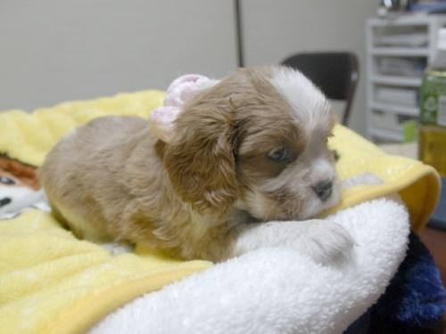 キャバリアの子犬(ID:1255511251)の2枚目の写真/更新日:2017-06-02