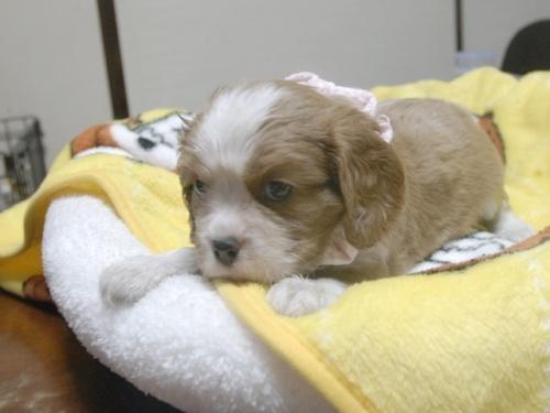 キャバリアの子犬(ID:1255511251)の3枚目の写真/更新日:2017-06-02