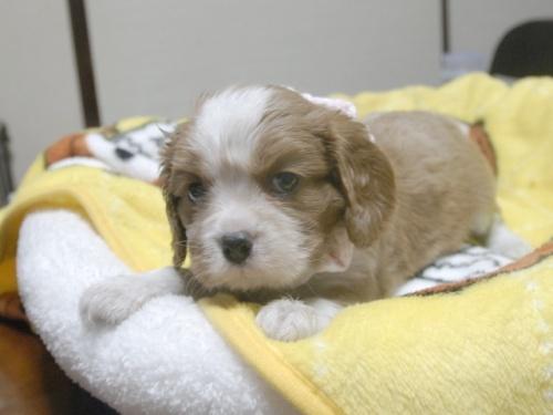 キャバリアの子犬(ID:1255511251)の4枚目の写真/更新日:2017-05-19