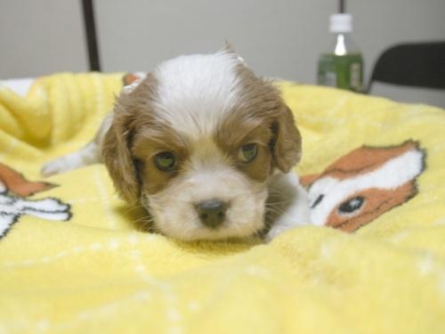 キャバリアの子犬(ID:1255511252)の1枚目の写真/更新日:2017-06-02