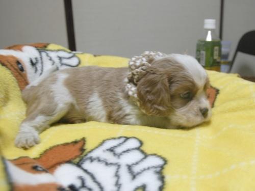 キャバリアの子犬(ID:1255511252)の2枚目の写真/更新日:2017-06-02