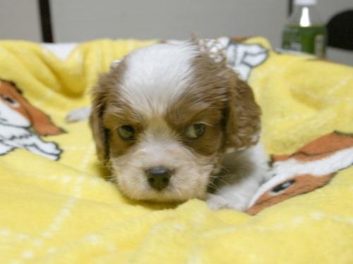 キャバリアの子犬(ID:1255511252)の4枚目の写真/更新日:2017-06-02