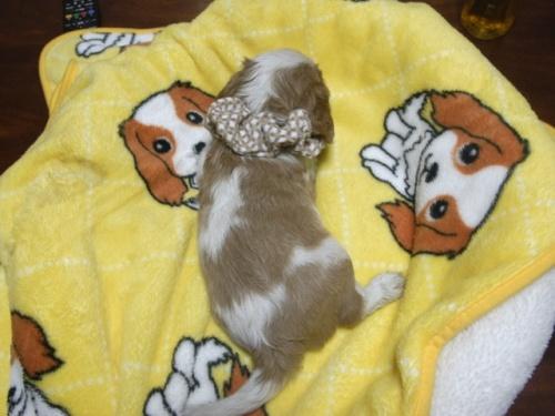キャバリアの子犬(ID:1255511252)の5枚目の写真/更新日:2017-06-02