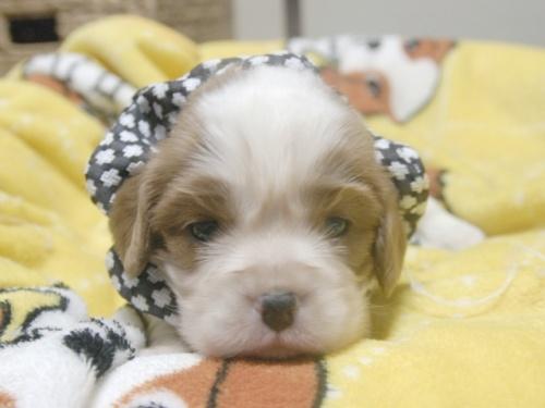 キャバリアの子犬(ID:1255511253)の1枚目の写真/更新日:2017-05-19