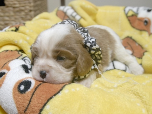 キャバリアの子犬(ID:1255511253)の3枚目の写真/更新日:2017-05-19