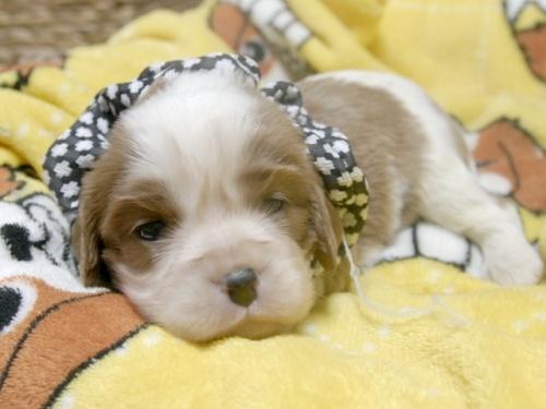 キャバリアの子犬(ID:1255511253)の4枚目の写真/更新日:2017-05-19