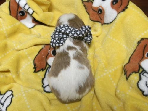 キャバリアの子犬(ID:1255511253)の5枚目の写真/更新日:2017-05-19