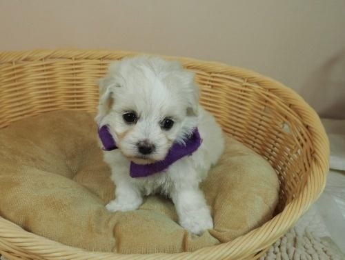 マルチーズの子犬(ID:1255511254)の1枚目の写真/更新日:2017-06-02