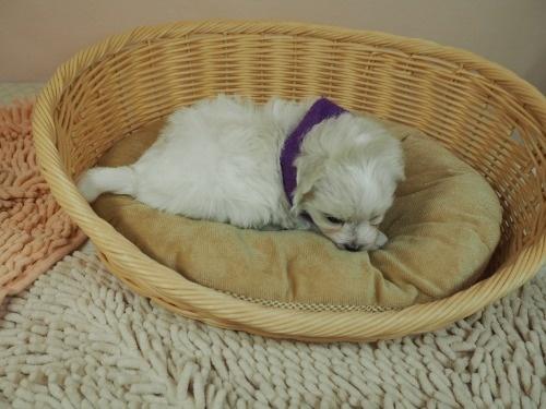 マルチーズの子犬(ID:1255511254)の2枚目の写真/更新日:2017-06-02