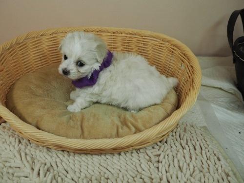 マルチーズの子犬(ID:1255511254)の3枚目の写真/更新日:2021-02-25