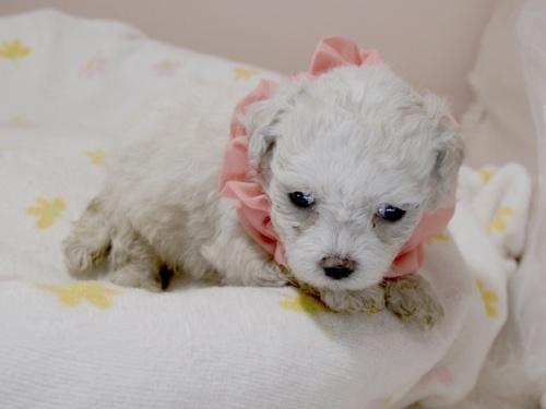 マルチーズの子犬(ID:1255511255)の2枚目の写真/更新日:2017-06-02