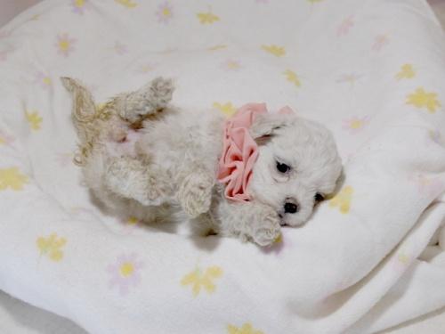 マルチーズの子犬(ID:1255511255)の3枚目の写真/更新日:2017-06-02