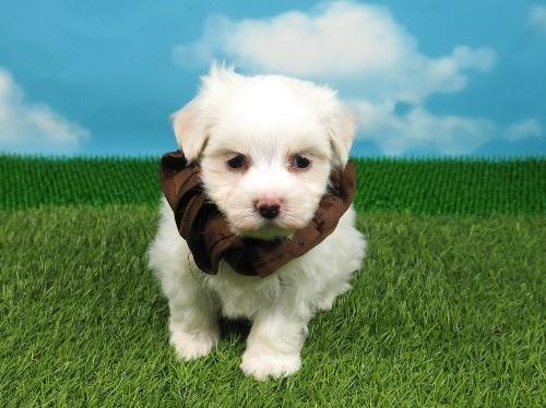 マルチーズの子犬(ID:1255511256)の1枚目の写真/更新日:2017-06-02