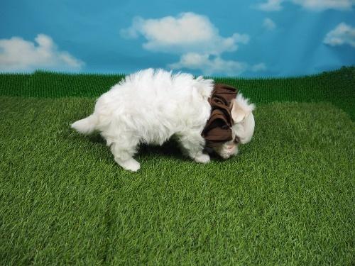 マルチーズの子犬(ID:1255511256)の2枚目の写真/更新日:2021-03-04