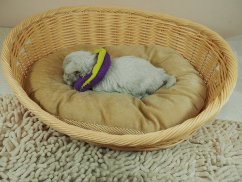 マルチーズの子犬(ID:1255511256)の3枚目の写真/更新日:2021-03-04