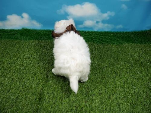 マルチーズの子犬(ID:1255511256)の4枚目の写真/更新日:2017-06-02