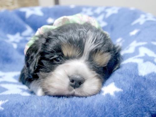 キャバリアの子犬(ID:1255511257)の1枚目の写真/更新日:2017-06-09