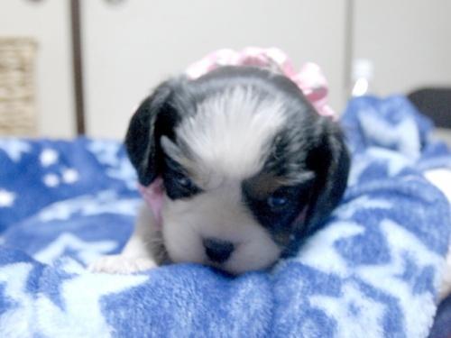 キャバリアの子犬(ID:1255511258)の1枚目の写真/更新日:2017-06-09