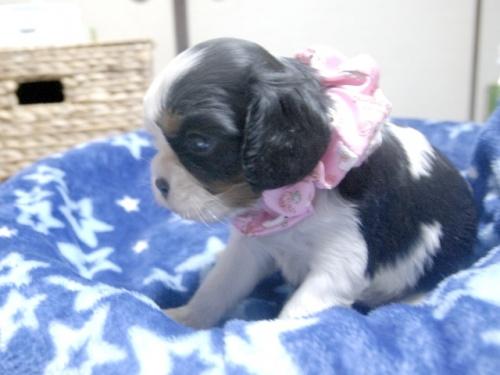 キャバリアの子犬(ID:1255511258)の2枚目の写真/更新日:2017-06-09